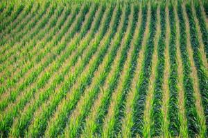 field of cornstalks
