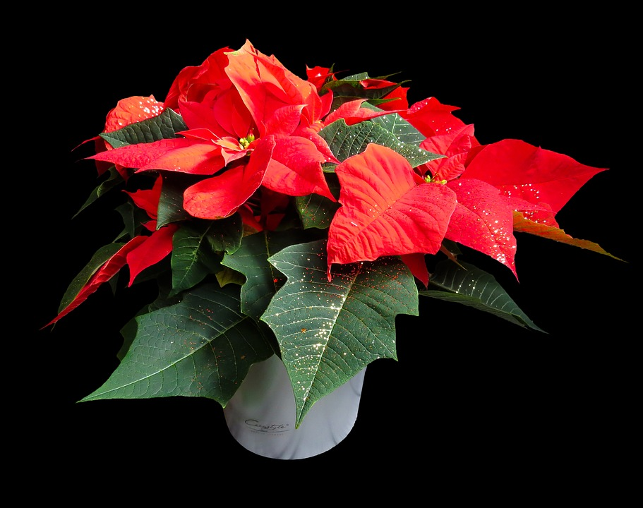 Why Poinsettias at Christmas?